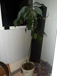 Авокадо , высота около 1.5 м Запорожье