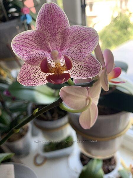 Орхидея подросток азиат Penny Lane первое цветение