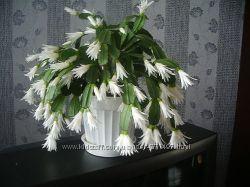 цветок домашний рождественник белый