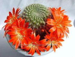 цветок домашний кактус цветущий