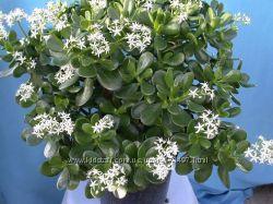 цветок домашний денежное дерево цветущее