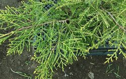 Можжевельник средний Голд Кост Juniperus media Gold Coast