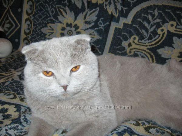 Скоттиш-фолд Шотландская вислоухая кошка