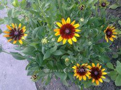 гиацинт, арабис, фиалка, дороникум, колокольчик, очитки. многолетние цветы