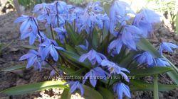 пролески- подснежники, крокусы и много других весенних цветов