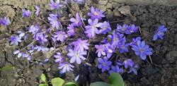 пролески, подснежники, крокусы , морозники- весенние цветочки