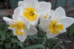 красивые нарциссы- тюльпаны