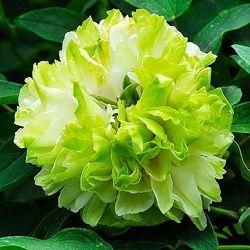 Пион древовидный Green Jade Lu Mu Ying Yu