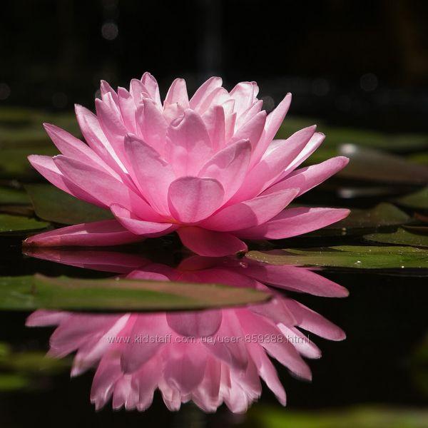 Лотос эфирное масло цветов лотоса
