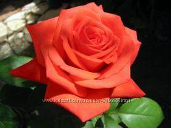 Роза эфирное масло розы розовое масло в Киеве в Украине