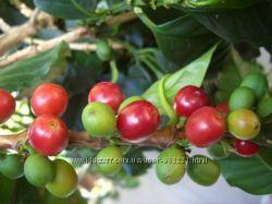 кофе Аравийский сеянцы