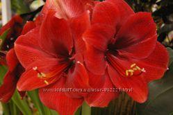 гипеаструм-амариллис-огромные цветы-аленький цветочек