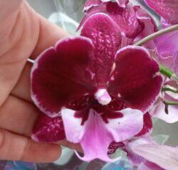 Орхидеи, отцветашки и цветущие