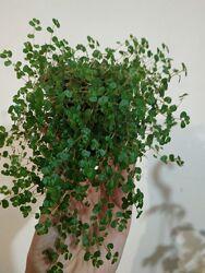 Солейролія солейролия  кімнатна рослина