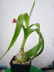 Продам деток лечебного индийского лука или листья для настойки