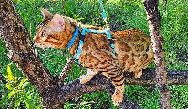 Люкс Золото Бенгальский подрощенный котик, документы, питомник