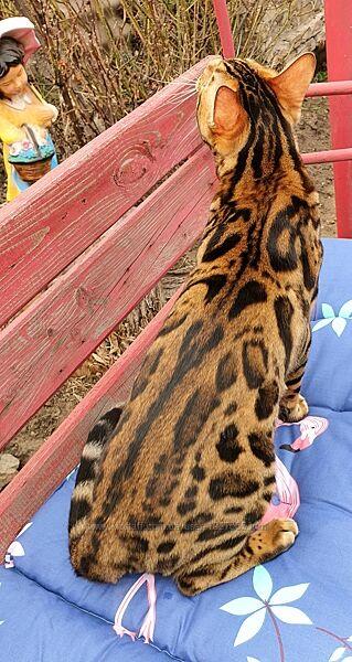 Леопард, Экзотический бенгальский котик, документы, питомник WCF