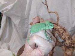 Еменский хамелеон или шлемоносный хамелеон. Chamaeleo calyptratus.