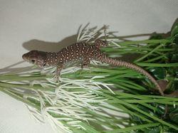 Жемчужная ящерица. Lacerta lepida Timon lepidus