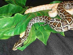 Тигровый питон. Стандарт и альбинос. Python molurus.
