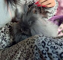 Декоративный ангорский кролик